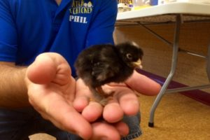 Homestead Phil and a one week old chicken visited us and our friends at a local community center.