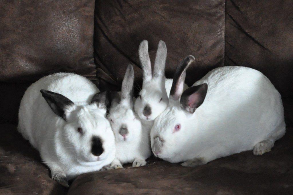 indoor rabbits